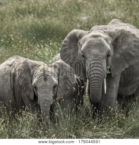 Elephant and calf in Serengeti National Park