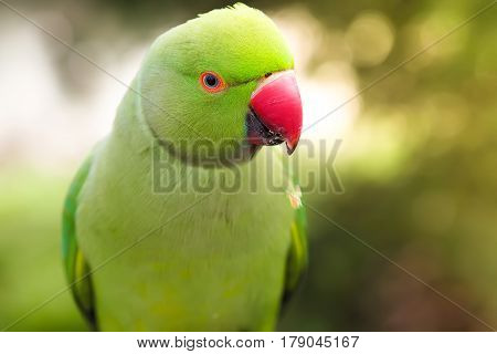 Closeup view of the green rose-ringed (ring necked) parakeet Psittacula krameri on the blurred background