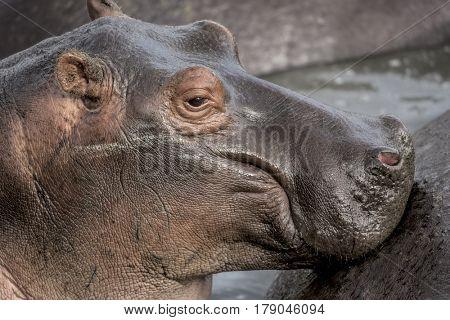 Close-up of an Hippopotamus  in Serengeti National Park