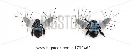 Two Beetle Xylocopa violacea nailed, isolated on white