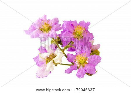 Beautiful purple flower soft focus of Cananga odorata flowers Thai Flower Tabak on white background