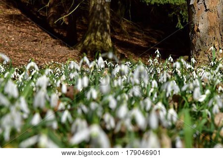 Amazing blooming snowdrops in the forest. Snowdrop