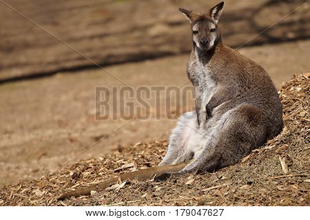 Resting Red Necked Wallaby kangaroo (Macropus Rufogriseus)