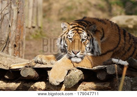 Portrait of Siberian or Amur tiger (Panthera tigris altaica) resting outdoors