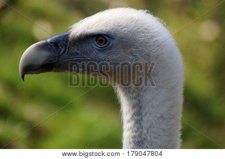 portrait of Griffon Vulture ( Gyps fulvus )
