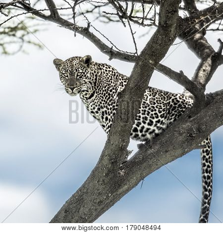 Leopard sitting on a tree in Serengeti National Park