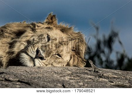 Lion falling asleep on a tree in Serengeti National Park