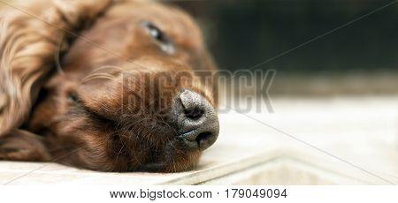 Website banner - noze of a sleeping lazy Irish Setter dog