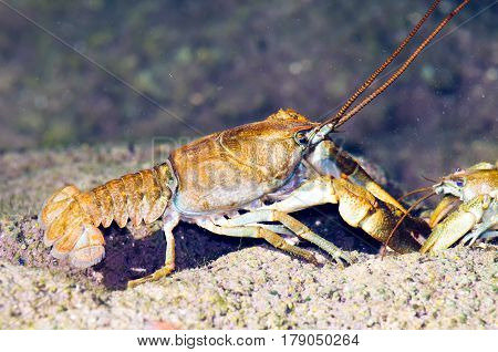 Stone crayfish (Austropotamobius torrentium) in its natural habitat.