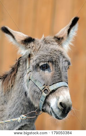 A portrait of stupid looking donkey (Equus africanus asinus).