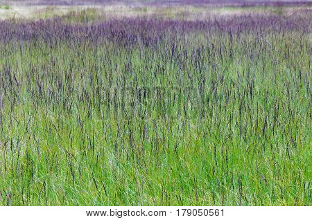 Natural wet meadow with purple moor grass (Molinia caerulea).