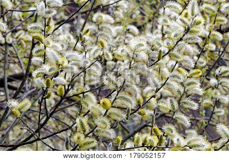 Male catkins of pussy willow (Salix caprea).