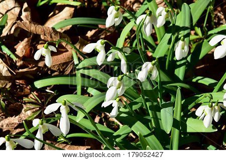 Amazing blooming snowdrops. The sun shines on snowdrops.