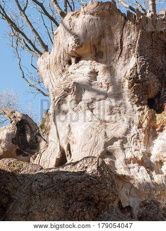 Oak Tree Central Part On Display In Open