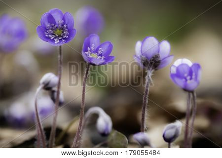 Early blue spring wildflower liverleaf or liverwort, Hepatica nobilis. A delicate and fragile wild forest flower. Symbol for fragility soft focus image