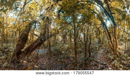 Panorama of the tropical wet forest with curved trees and lianas