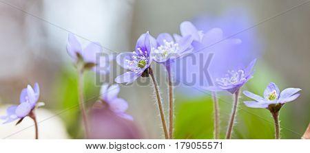 Blue spring wildflower pano liverleaf or liverwort, Hepatica nobilis. A delicate and fragile wild forest flower. Symbol for fragility