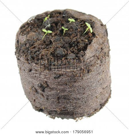Seedling of ring bellflower (Symphyandra pendula) with two green cotyledon leaves in clod of soil isolated on white background