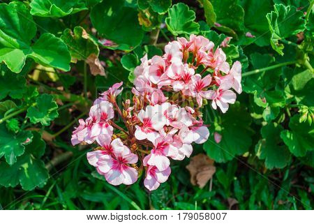 Closeup To Group Of Pink Geranium/ Palargonium X Hortorum L.h.bail/ Geraniaceae