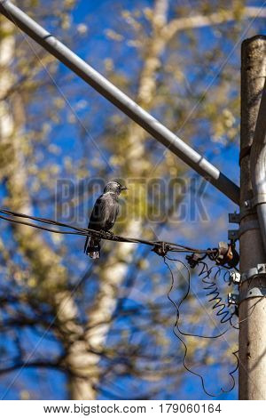 beautiful bird raven on wire electricity .