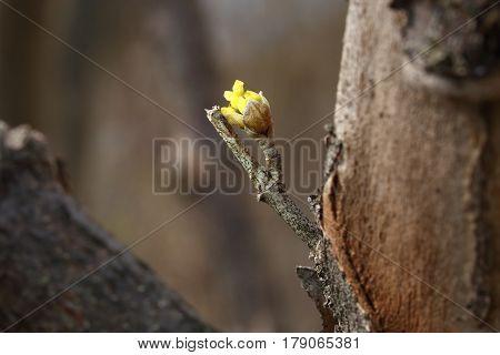 Japanese Cornelian Cherry baby flower in spring