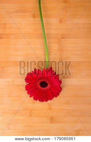 Gerber. Beautiful flower. Plant. Fresh. Nature. Decoration.