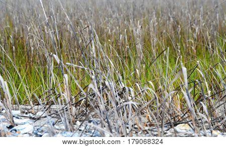 horizontal shot of marsh grass in Spring