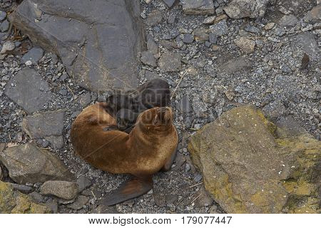 Female Southern Sea Lion (Otaria flavescens) with new pup on the coast of Sealion Island in the Falkland Islands.