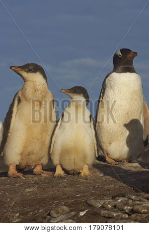 Gentoo Penguin chicks (Pygoscelis papua) with an adult on Sealion Island in the Falkland Islands.