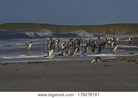 Large group of Gentoo Penguins (Pygoscelis papua) returning to land after a short early morning swim in the sea on Sealion Island in the Falkland Islands. Magellanic Penguins in the foreground