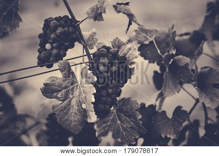 Grapes Hanging with Leaves in Vine Yard