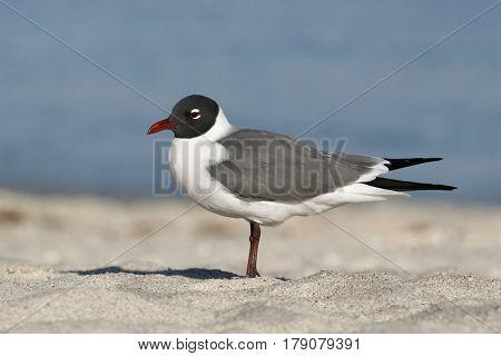 A Laughing Gull, Leucophaeus atricilla in breeding plumage on a beach in Florida