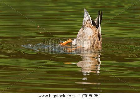 Mallard duck (Anas platyrhynchos) , female rump
