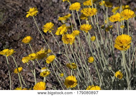 Desert marigold in Arizona America's Southwest. Location is Picacho Peak State Park on March 10 2017. Spring wildflowers on arid lands are a tourism attraction.