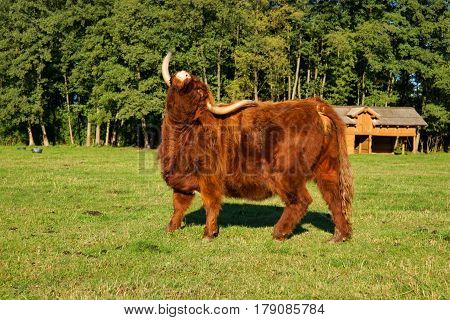Cow red Highland cattle (Scottish Gaelic) on the pasture scratching the back of horn