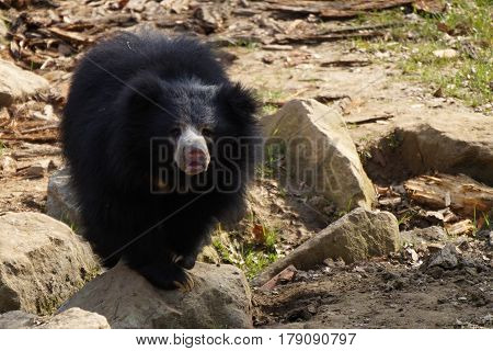 sloth bear looking at the camera (Melursus ursinus)