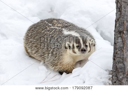 A badger hunts for prey in a snowy forest habitat.