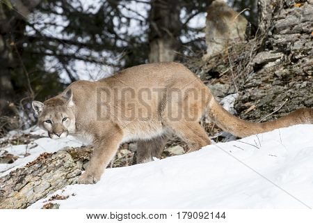 A mountain lion hunts for prey in a snowy forest habitat.