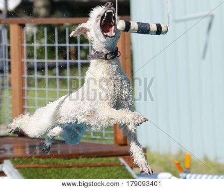 Standard poodle grabbing toy in dock diving event