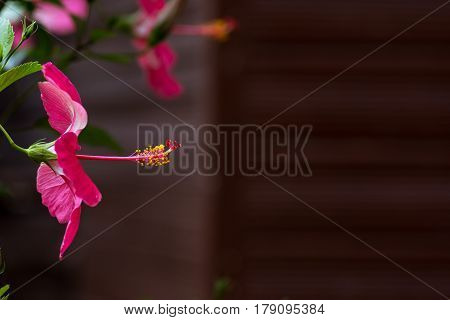 Close up side on view of Pink petal flower with exposed protruding style blurred background with copy space.