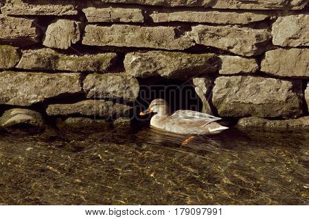A duck taking a rest at a hole in the stone wall