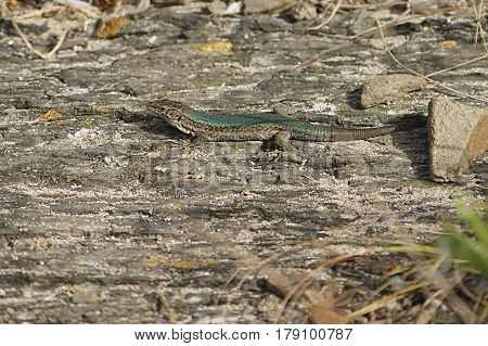The lizard Podarcis lilfordi brauni is an endemic reptile of the island of Colom in Menorca