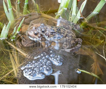 Two pairs of frogs breeding and laying Frogspawn.
