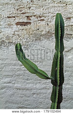 Single Cactus Plant Against an Adobe Wall
