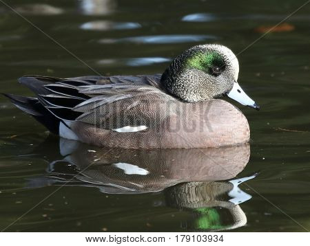 An American Wigeon duck floating on a pond