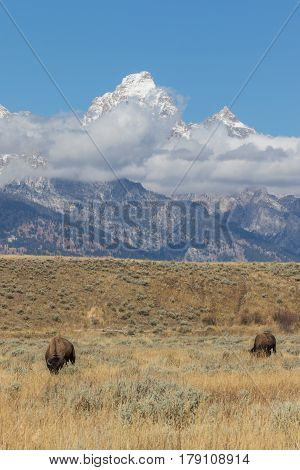 bison on the prairie with the Teton range in the background in fall