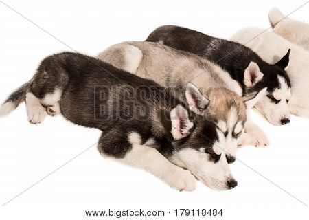 Group of puppies breed the Huskies isolated on white background. The most charismatic puppies. Everybody sleep