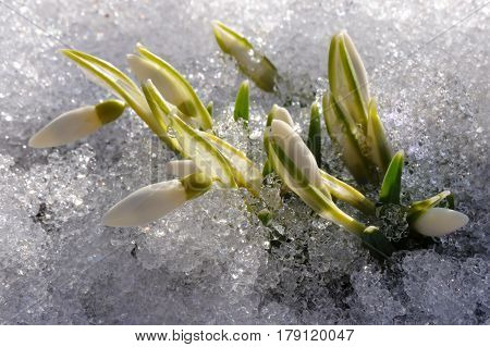 Beautiful snowdrops galanthus in the march melted snow