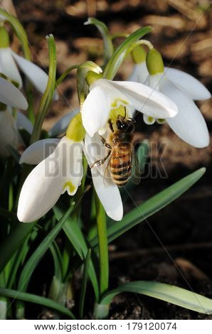 Bee on the first spring flowers - snowdrops. Vertical photo