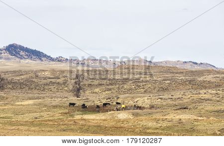 Black cows by a small corral in a vast hilly mountainous Montana landscape dotted with trees and shrubs